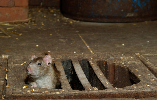 10 Most Rat Infested Cities In The Western World
